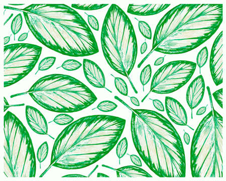 Ecology Concepts, Illustration Background of Beautiful Fresh Green Schumannianthus Dichotomus or Calathea Picturata Leaf Isolated on A White Background. 矢量图像