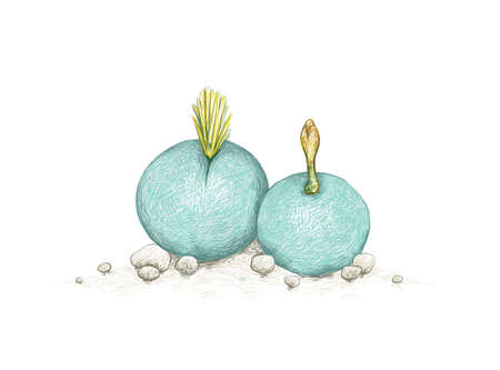 Illustration Hand Drawn Sketch of Conophytum Calculus or Marble Buttons with Yellow Flowers. A Succulent Plants for Garden Decoration.