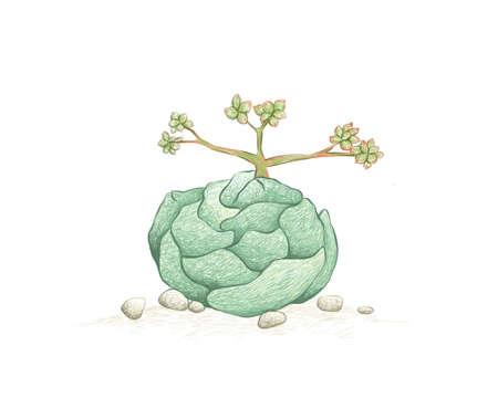 Illustration Hand Drawn Sketch of Crassula Alstonii Succulents Plant. A Succulent Plants for Garden Decoration.