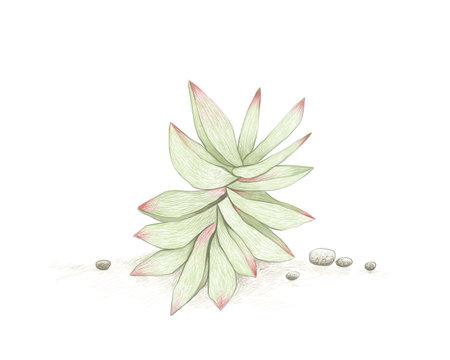 Illustration Hand Drawn Sketch of Crassula Capitella or Campfire Succulents Plant. A Succulent Plants for Garden Decoration.