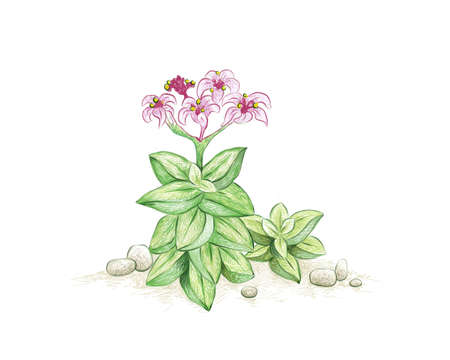 Illustration Hand Drawn Sketch of Crassula Springtime with Pink Flowers. A Succulent Plants for Garden Decoration.