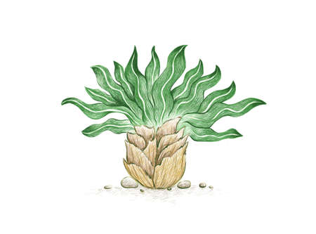 Illustration Hand Drawn Sketch of Boophone Haemanthoides Plant. A Succulent Plants for Garden Decoration.