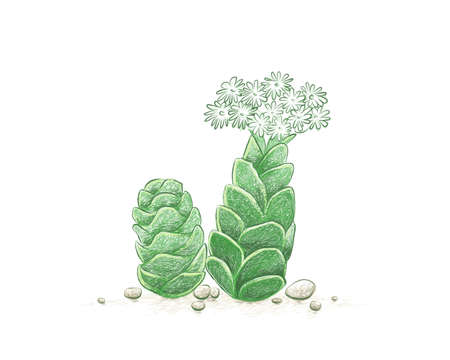 Illustration Hand Drawn Sketch of Crassula Barklyi or Rattlesnake Tail Succulents Plant. A Succulent Plants for Garden Decoration. 矢量图像