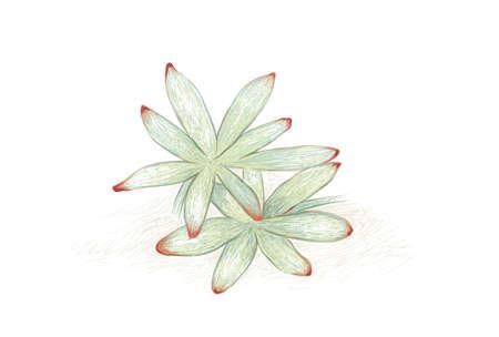 Illustration Hand Drawn Sketch of Graptosedum or Darley Sunshine. A Succulent Plants for Garden Decoration.
