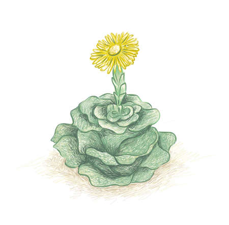 Illustration Hand Drawn Sketch of Greenovia Dodrentalis. A Succulent Plants for Garden Decoration.