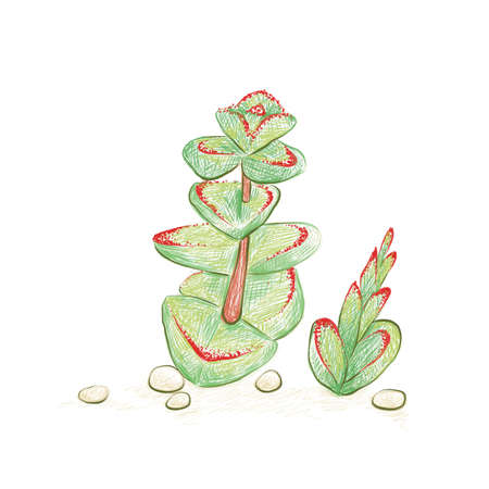 Illustration Hand Drawn Sketch of Crassula Marnieriana, Jade Necklace, Chinese Pagoda or Worm Plant. A Succulent Plants for Garden Decoration.