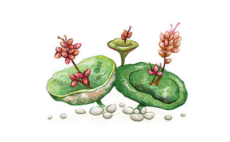 Illustration Hand Drawn Sketch of Crassula Umbella or Wine Cup with Red Flowers. A Succulent Plants for Garden Decoration. 矢量图像