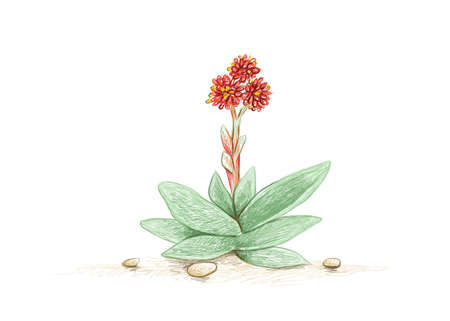 Illustration Hand Drawn Sketch of Crassula Falcata or Propeller Plant with Red Flowers. A Succulent Plants for Garden Decoration. 矢量图像