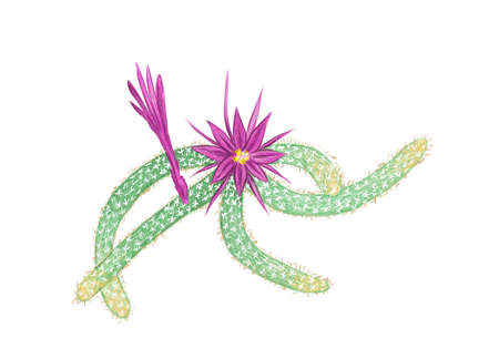 Illustration Hand Drawn Sketch of Disocactus Flagelliformis or Rat Tail Cactus. A Succulent Plants with Sharp Thorns for Garden Decoration. 矢量图像