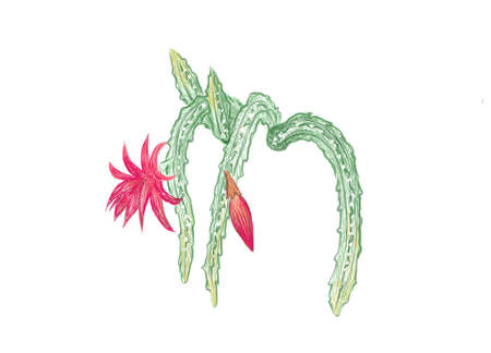 Illustration Hand Drawn Sketch of Disocactus Mallisonii or Rat Tail Cactus. A Succulent Plants with Sharp Thorns for Garden Decoration.