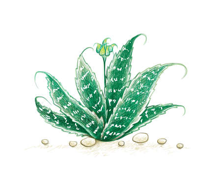 Herbal and Plant, Hand Drawn Illustration of Aristaloe Aristata, Lace Aloe or Guinea-Fowl Aloe Plant. A Succulent Plants with Sharp Thorns for Garden Decoration. 矢量图像