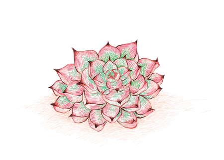Illustration Hand Drawn Sketch of Echeveria Colorata. A Succulent Plants for Garden Decoration.