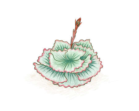 Illustration Hand Drawn Sketch of Echeveria or Afterglow. A Succulent Plants for Garden Decoration.