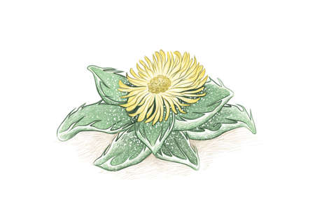 Herbal and Plant, Hand Drawn Illustration of Faucaria Tigrina or Tigers Jaw Plant. A Succulent Plants with Sharp Thorns for Garden Decoration.