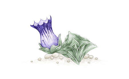Illustration Hand Drawn Sketch of Gentiana Urnula. A Succulent Plants for Garden Decoration. 矢量图像