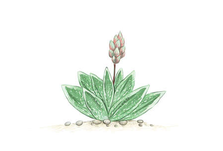 Illustration Hand Drawn Sketch of Gasteraloe or Green Ice with Blossom. A Succulent Plants for Garden Decoration.