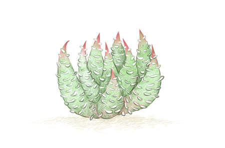 Illustration Hand Drawn Sketch of Haworthiopsis Baccata, A Succulent Plants for Garden Decoration.
