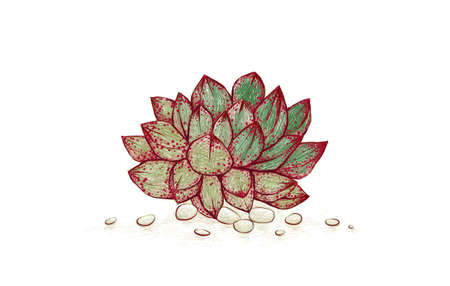 Illustration Hand Drawn Sketch of Echeveria Purpusorum. A Succulent Plants for Garden Decoration. 矢量图像