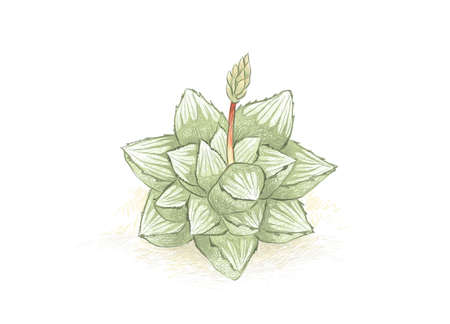 Illustration Hand Drawn Sketch of Haworthia Mutica with Flower, A Succulent Plants for Garden Decoration.