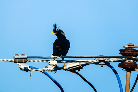wire fence: Starlings bird or White-vented Myna or Acridotheres grandis on the wire with blue sky