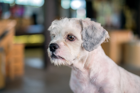 Short hair white shih-Tzu dog gaze at something with blurred background