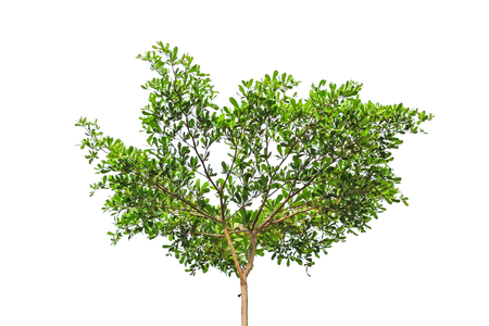 Tree isolated on white background for nature concept
