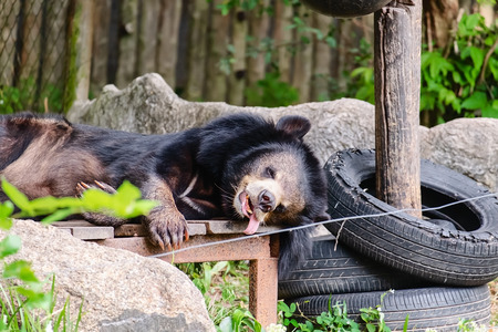Asian black bear sleeping on the wooden bedding for animal and wildlife concept