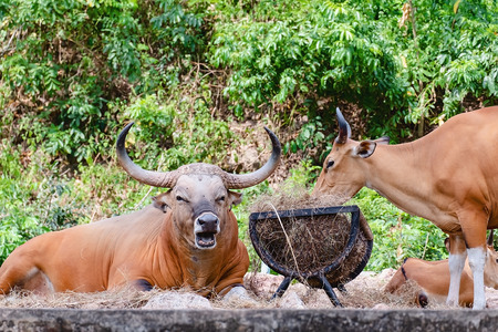 Banteng, a forest ox in the nature for animal and wildlife concept