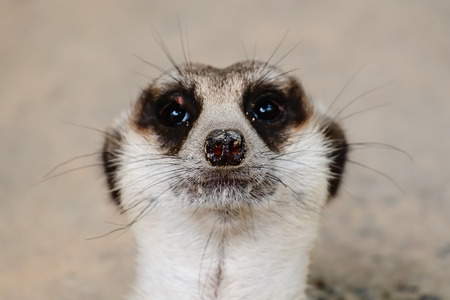 Close up of Meerkats face for animal and wildlife concept Reklamní fotografie