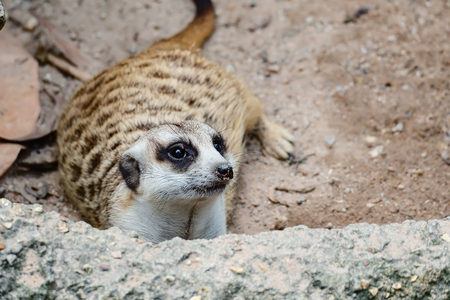 Meerkat lying on the sand for animal and wildlife concept