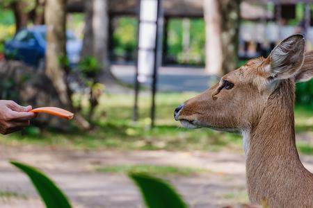 El ciervo de Eld (Rucervus eldii siamensis) alimentado por concepto de animales y vida silvestre