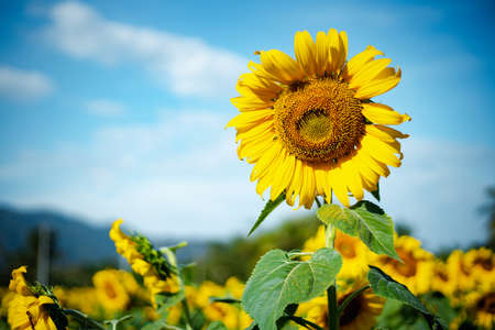 Sunflower field against cloudy blue sky background for nature concept