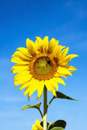 Sunflower against clear blue sky background for nature concept