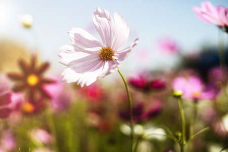 Beautiful pink cosmos flower blooming in the garden with soft color tone for nature concept Imagens