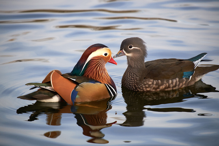 two mandarin duck in pond Stok Fotoğraf