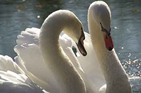 two swans in love photo