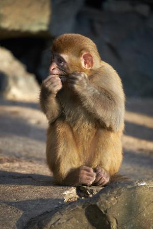 macaque: yong macaque eating