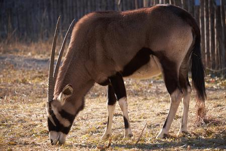 oryx: Oryx of Cape close up