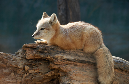bole: corsac fox on the bole Stock Photo