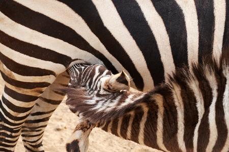 feed up: Little zebra nursing