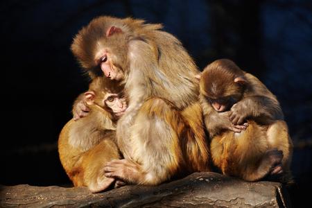 macaque: three macaque