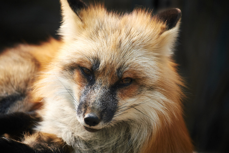 close-up red fox