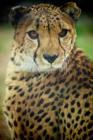 close up of Cheetah Imagens