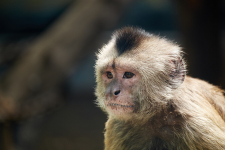 ''close up'': close up of weeper capuchin Stock Photo