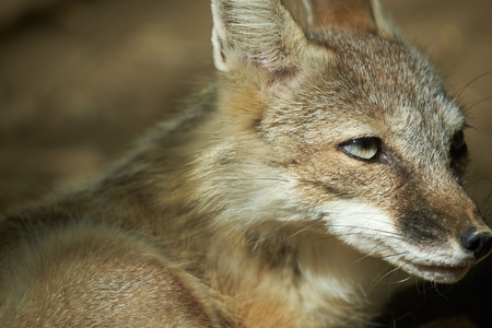 crafty: close up of corsac fox