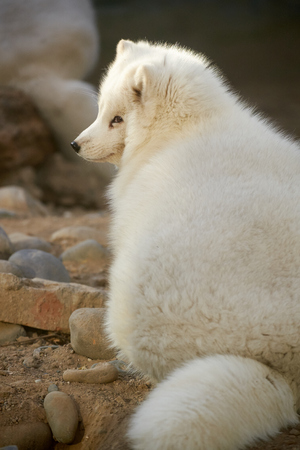 arctic fox: arctic fox