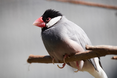 java: java sparrow on the branch Stock Photo