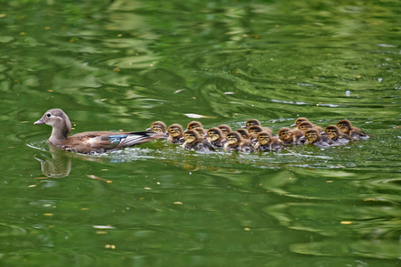 bejing: Mandarin duck mother with a group of children