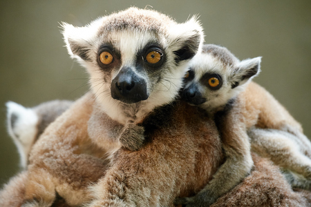 childen: close up of ring-tailed lemur