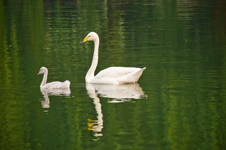 childen: swan mother and childen